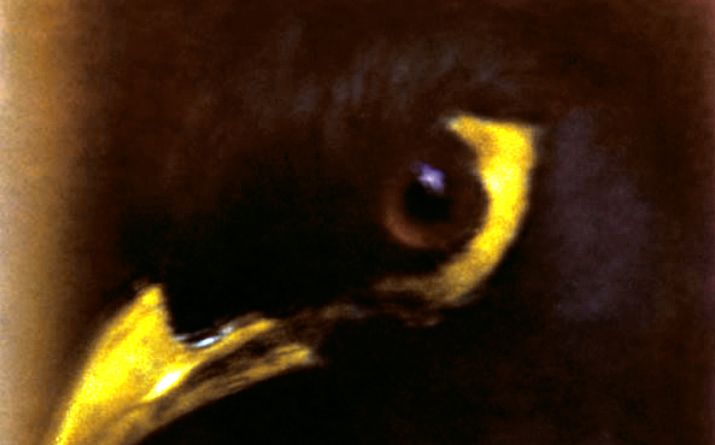 Inspiration Friday post of Photo of a close up of a crow yellow peek and yellow stripe and brown eyes by photographer sara moon