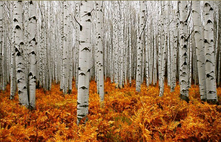 This photo is of Firry orange grass in forest with white trees and black knots on the trees in Aspen Colorado, for Inspiration friday